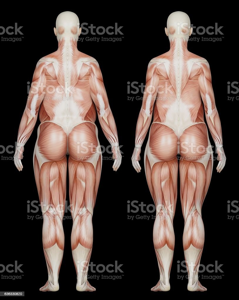 Anatomy Of A Woman Overweight Muscles Stock Photo More Pictures Of