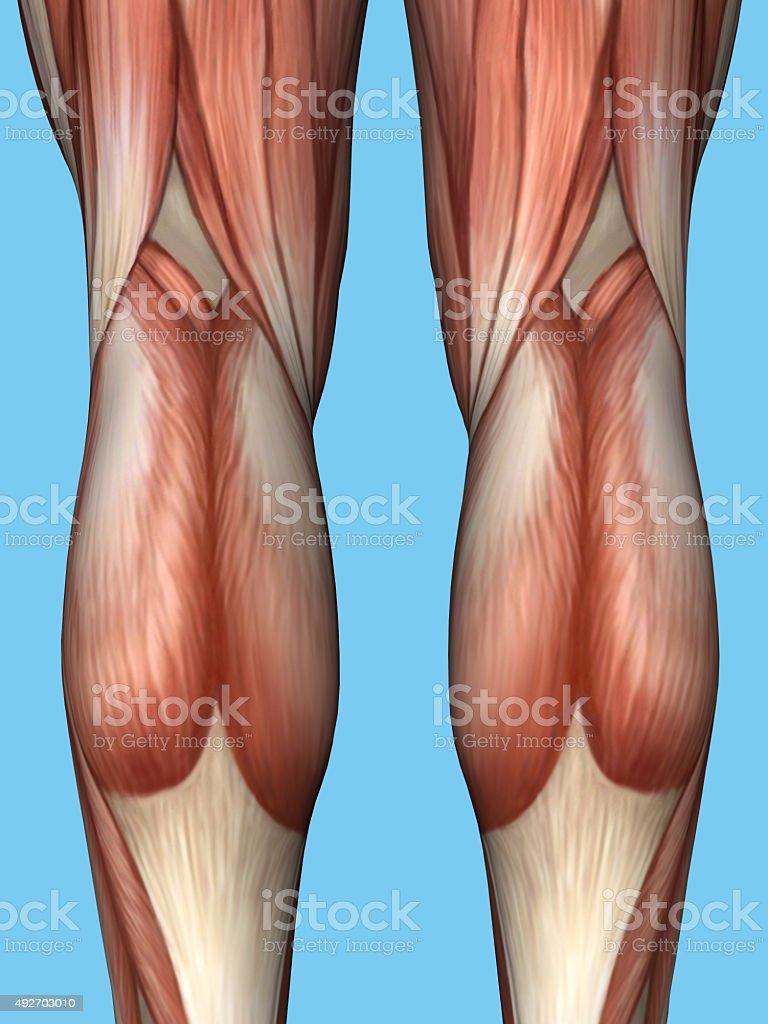Anatomie Des Hinteren Beins Stock-Fotografie und mehr Bilder von ...
