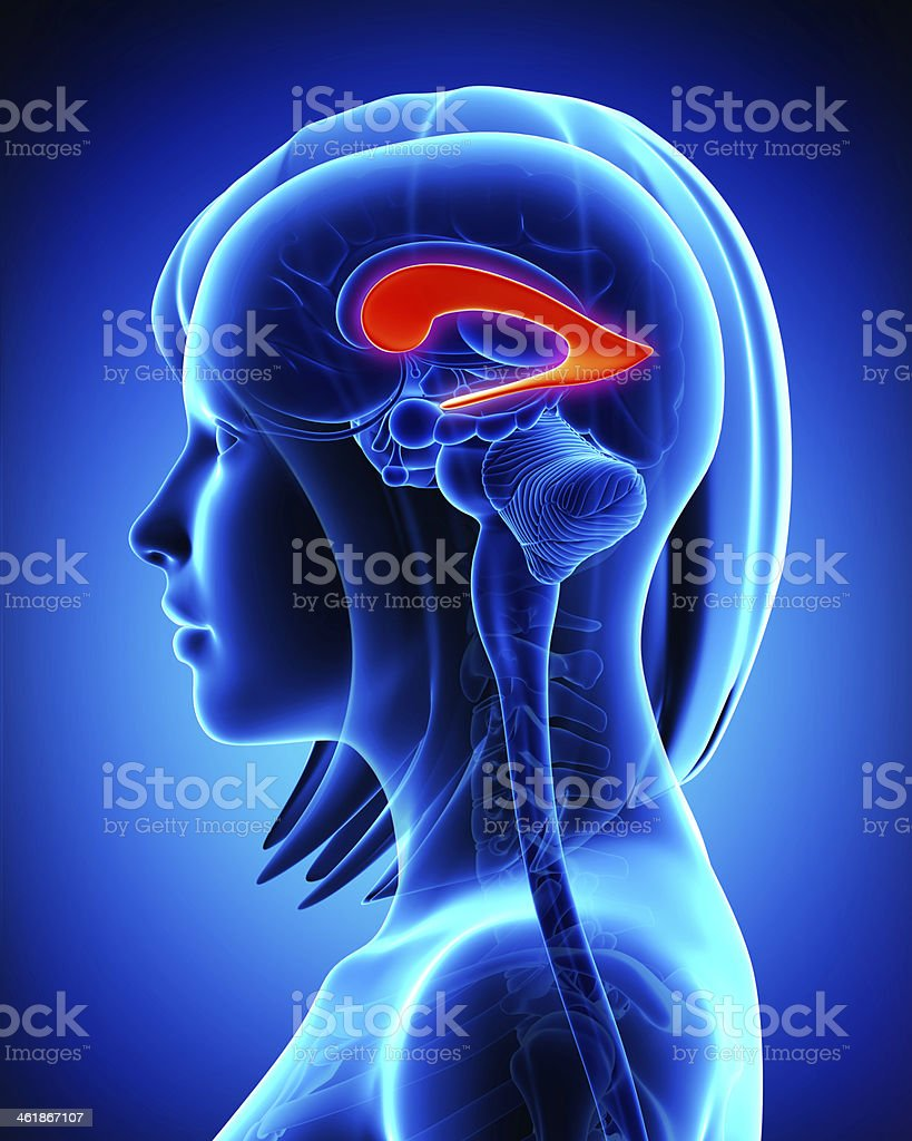 Anatomy Of Brain Lateral Ventricle Stock Photo & More Pictures of 3D ...