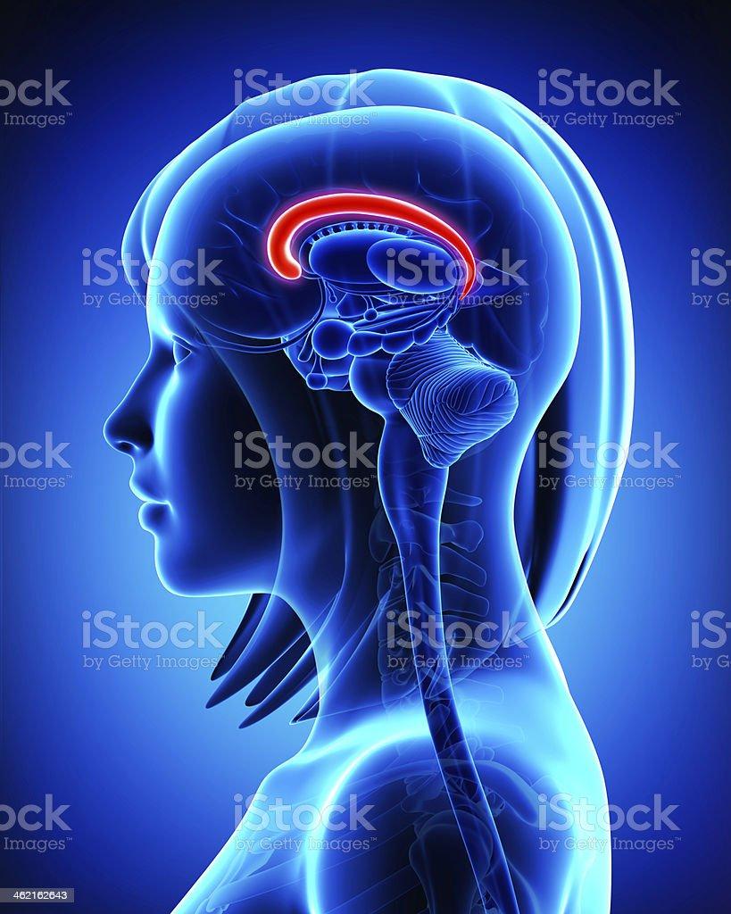 Anatomy of brain s cingulate gyrus- cross section stock photo