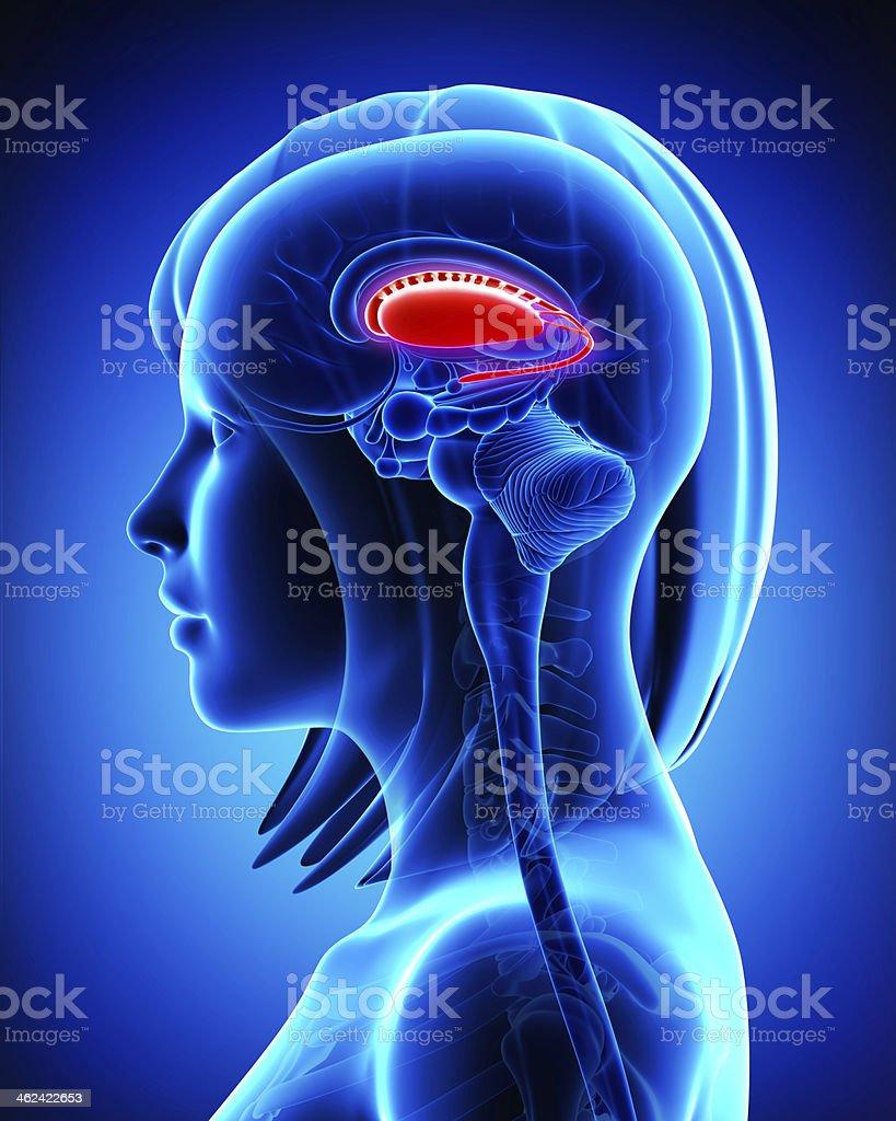 Fotografía de Anatomía De Cerebro S Putamen Y Caudate Nucleus ...