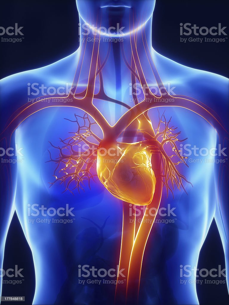 Anatomy of circulatory system render CGI royalty-free stock photo