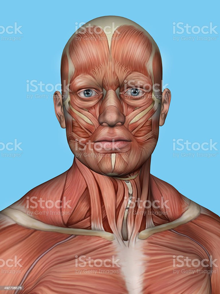 Anatomy of face and neck muscles. stock photo