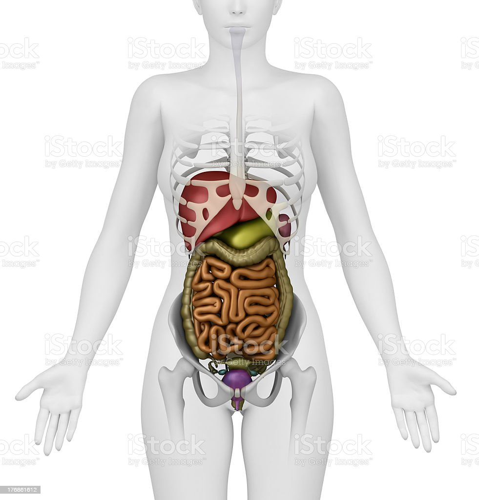 Anatomy Of Female Abdomen And Pelvis Anterior View Stock Photo