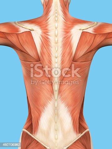 496193203istockphoto Anatomy of female back. 492706982