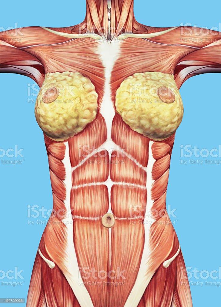 Die Anatomie Weibliche Brust Und Des Oberkörpers Stock-Fotografie ...