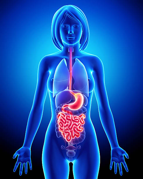 Anatomy of female digestive system stock photo