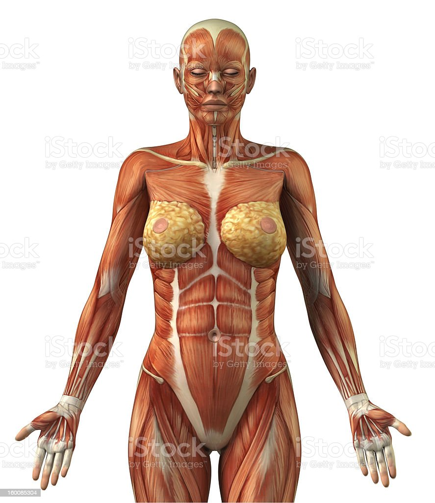 Anatomy of female frontal muscular system royalty-free stock photo