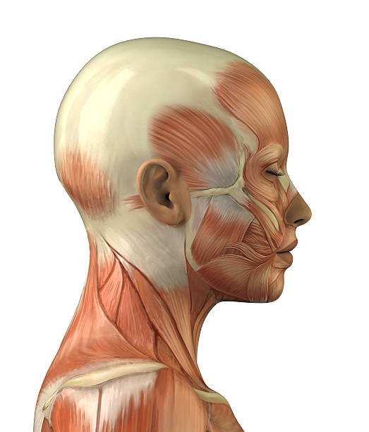 Anatomy of female head muscular system model Body without skin lateral view janulla stock pictures, royalty-free photos & images