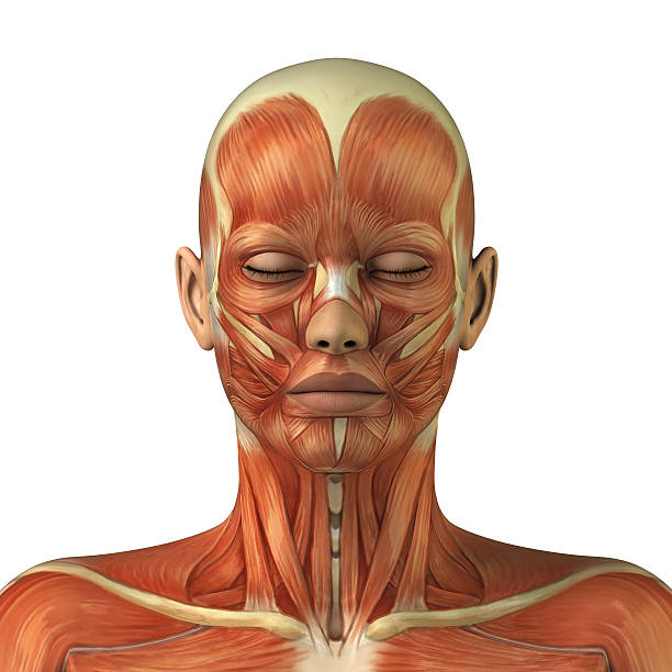 Anatomy of female head muscular system Body without skin anterior view janulla stock pictures, royalty-free photos & images