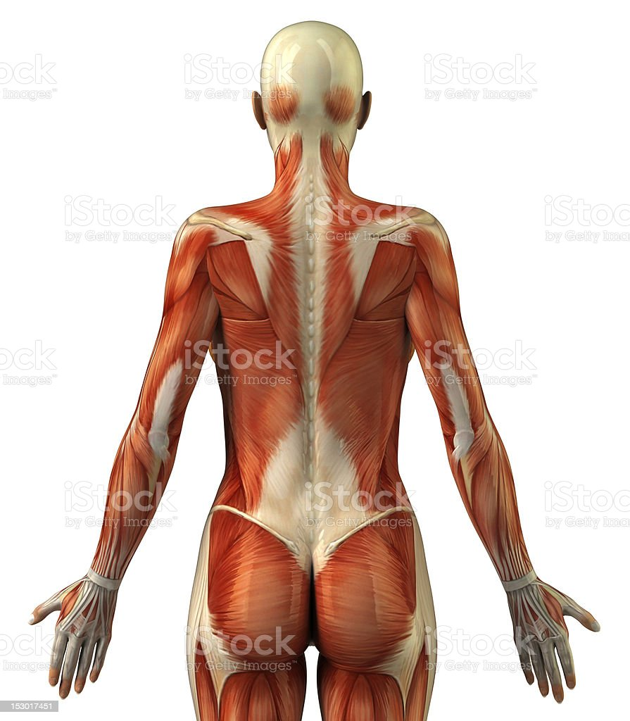 Anatomy Of Female Muscular System Stock Photo & More Pictures of ...