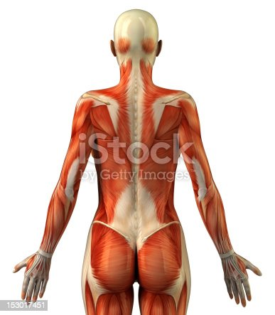 istock Anatomy of female muscular system 153017451