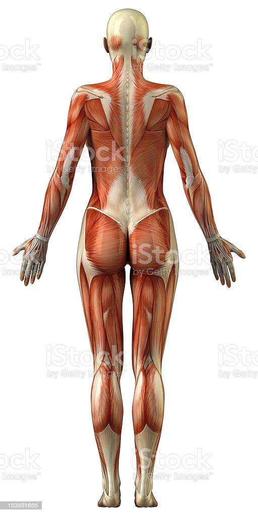 Fotografía de Anatomía Del Sistema Muscular Hembra y más banco de ...