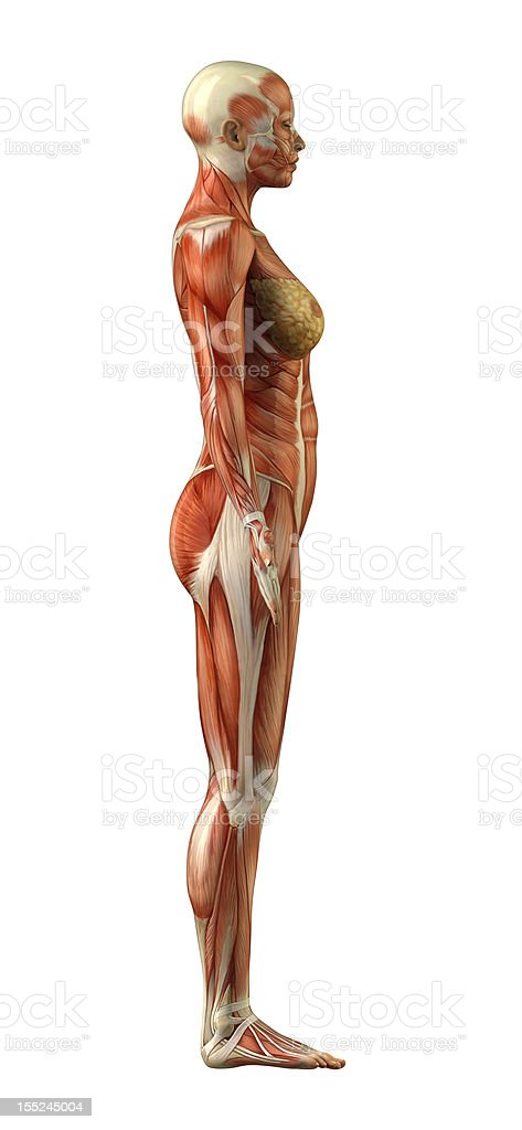 Anatomy Of Female Muscular System Stock Photo More Pictures Of