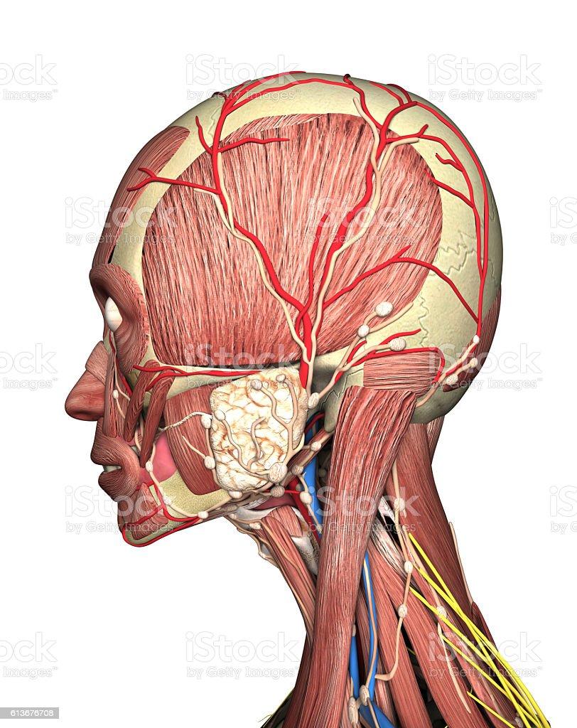 Anatomy Of Head Side View 3d Rendering Stock Fotografie Und Mehr