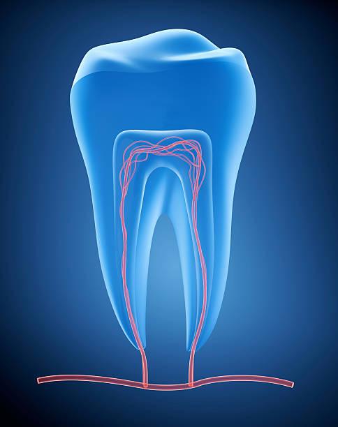 anatomy of healthy teeth in details. - dentine stockfoto's en -beelden