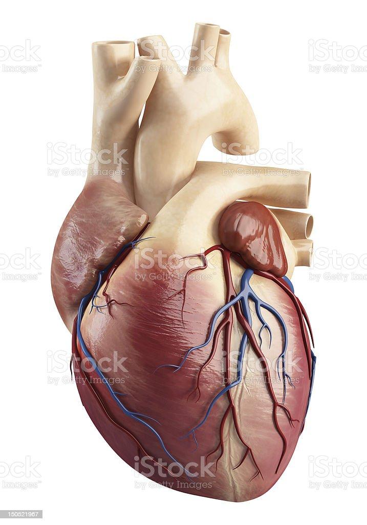 Fotografía de Anatomía De Interior De La Estructura Del Corazón y ...