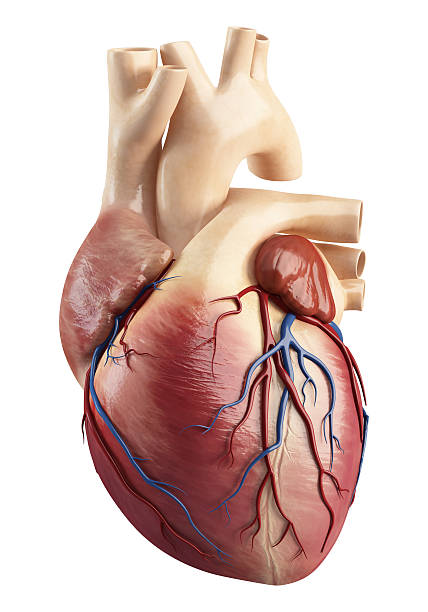 anatomy of heart interior structure - human heart stock photos and pictures