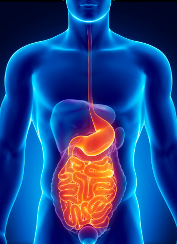Anatomy Of Human Digestive System Stock Photo - Download ...