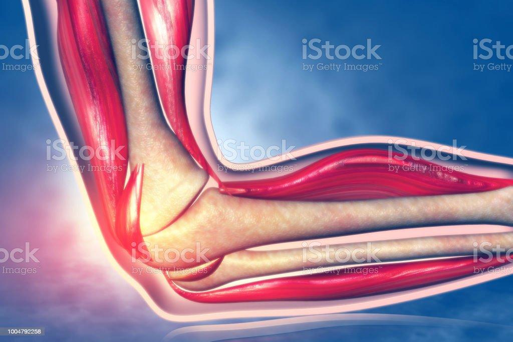 Anatomy Of Human Elbow Stock Photo More Pictures Of Anatomy Istock