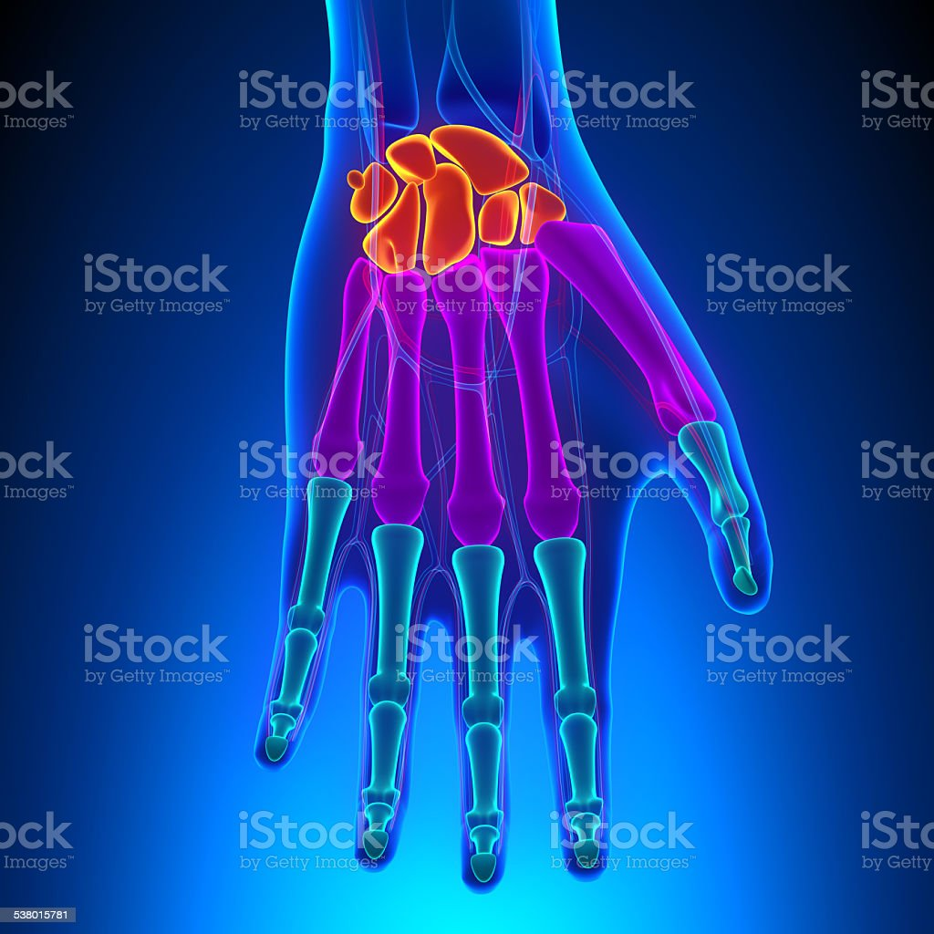 Anatomy Of Human Hand And Wrist With Circulatory System Stock Photo