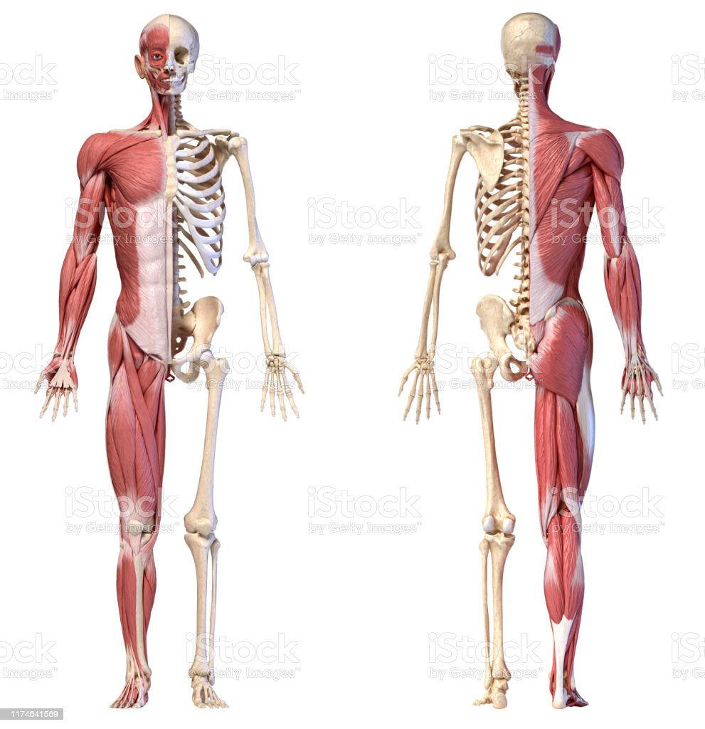 diagram of male skeleton anatomy of human male muscular and skeletal systems front and rear  male muscular and skeletal systems