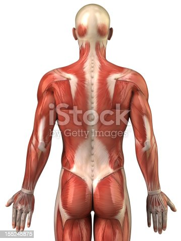 istock Anatomy of human muscular system posterior view 155245875