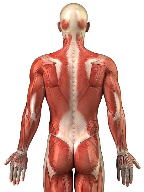Anatomy of human muscular system posterior view Human back muscles isolated janulla stock pictures, royalty-free photos & images