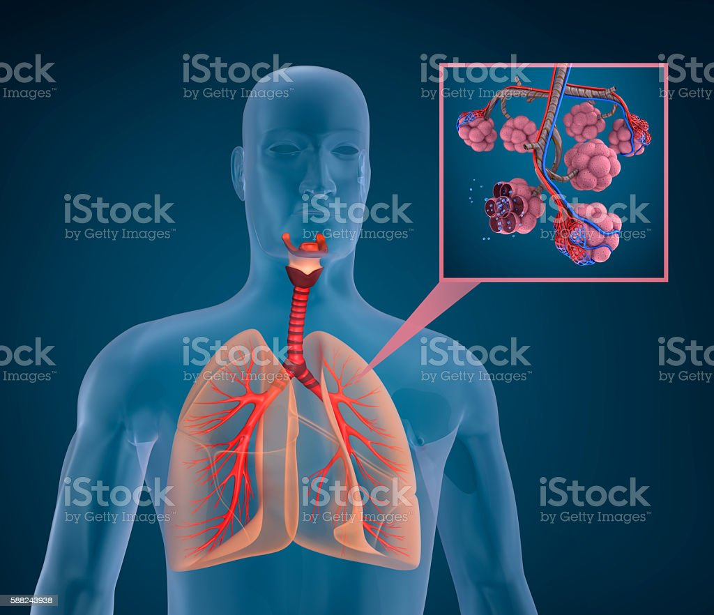 Anatomy of human respiratory system - blood saturating by oxygen stock photo