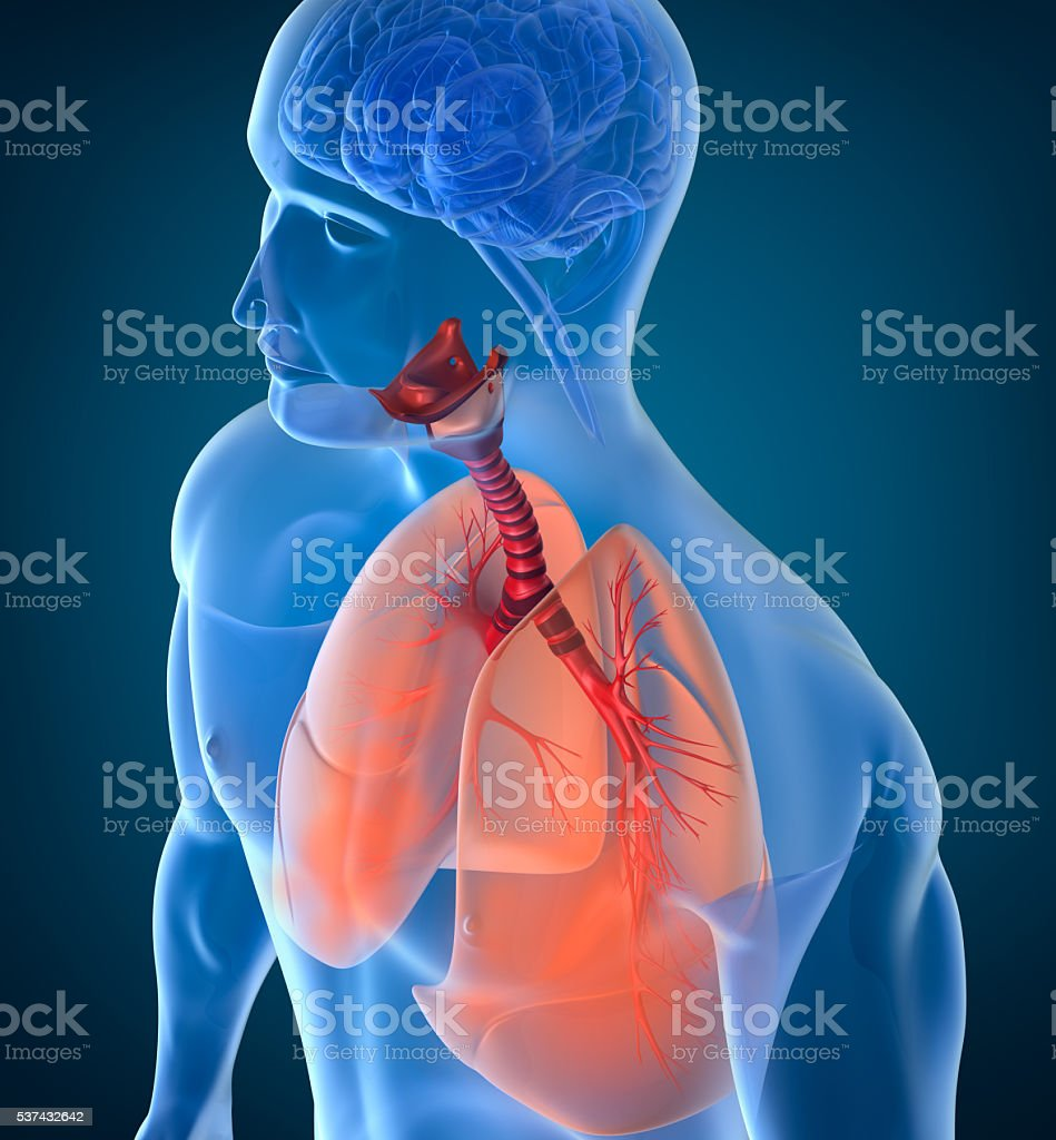 Anatomy of human respiratory system stock photo