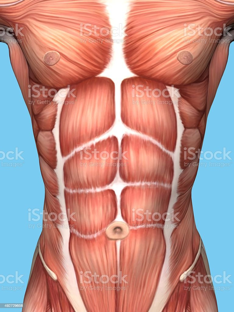 Anatomy of male chest and torso. stock photo