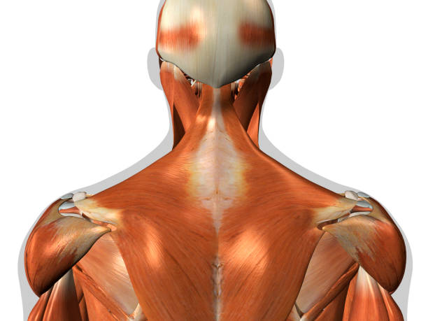 anatomy of neck and back muscles on white background - medical diagrams stock pictures, royalty-free photos & images