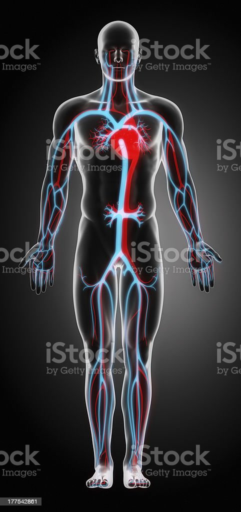 Anatomy of the Cardiovascular System stock photo