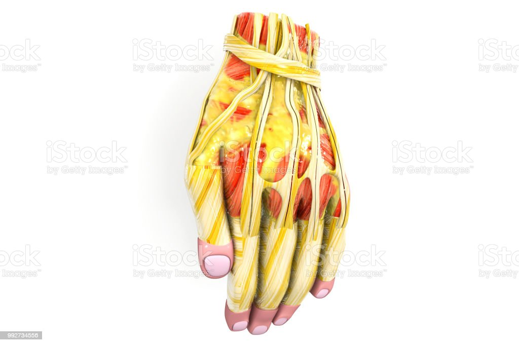Anatomy Of The Human Hand 3d Illustration Stock Photo More