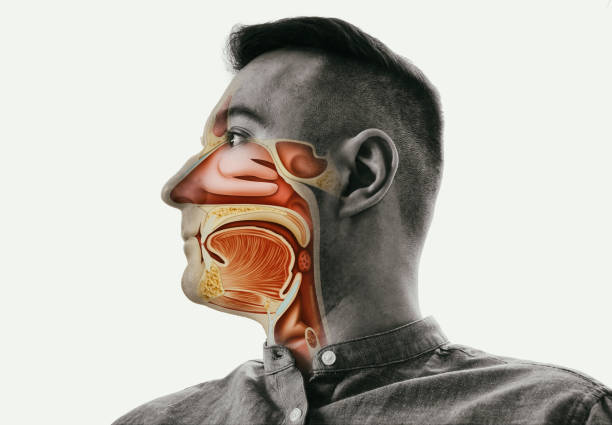 Anatomy of the mouth, throat and nose. stock photo