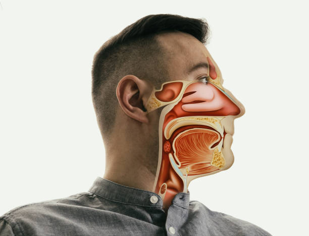 Anatomy of the mouth, throat and nose stock photo