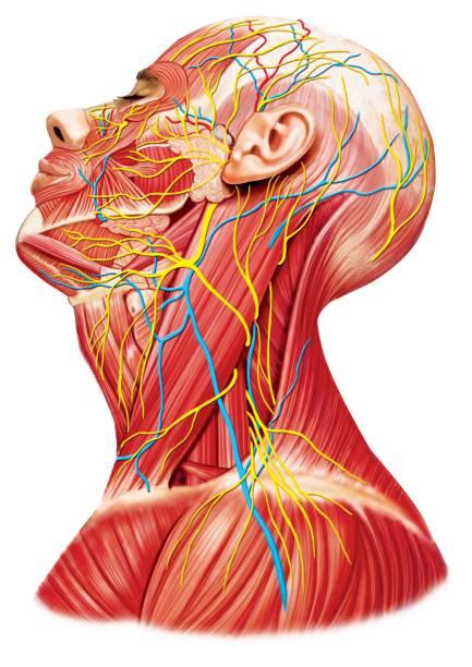 頸部和頭部的解剖 - 人體構造 個照片及圖片檔