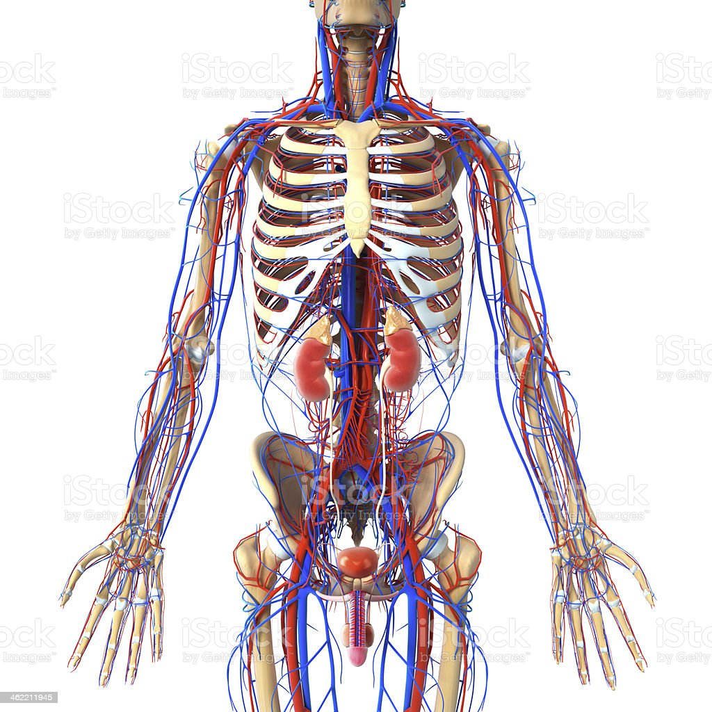 Anatomy Of Urinary System With Veins And Skeleton Stock Photo & More ...