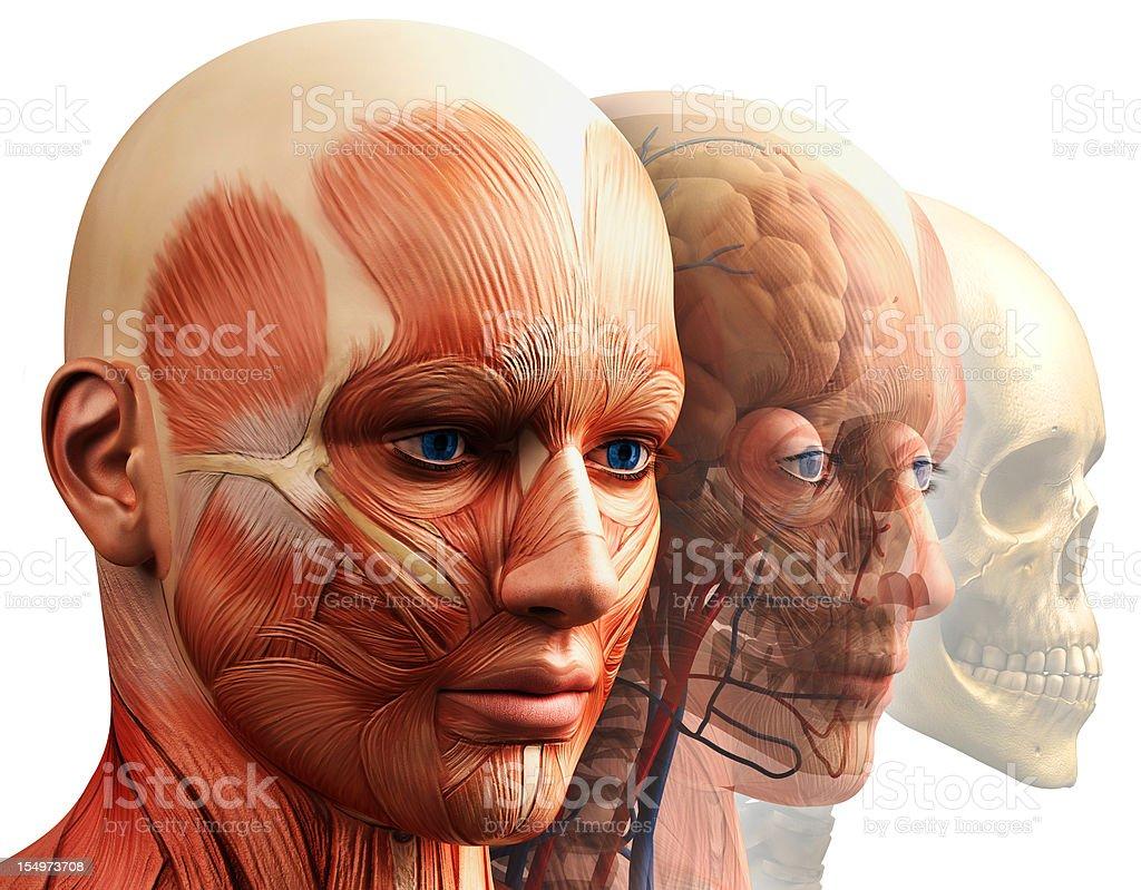 anatomy royalty-free stock photo