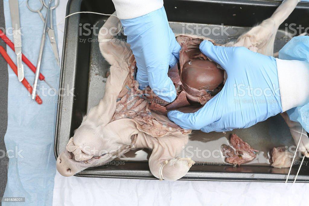 Encantador Anatomía De Cerdo Fetal Fotos - Anatomía de Las ...