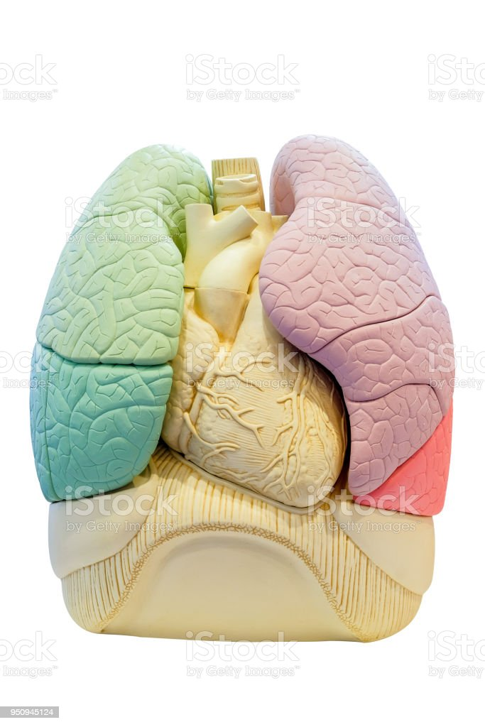 Anatomy Segment Lung Model Of Human Stock Photo More Pictures Of