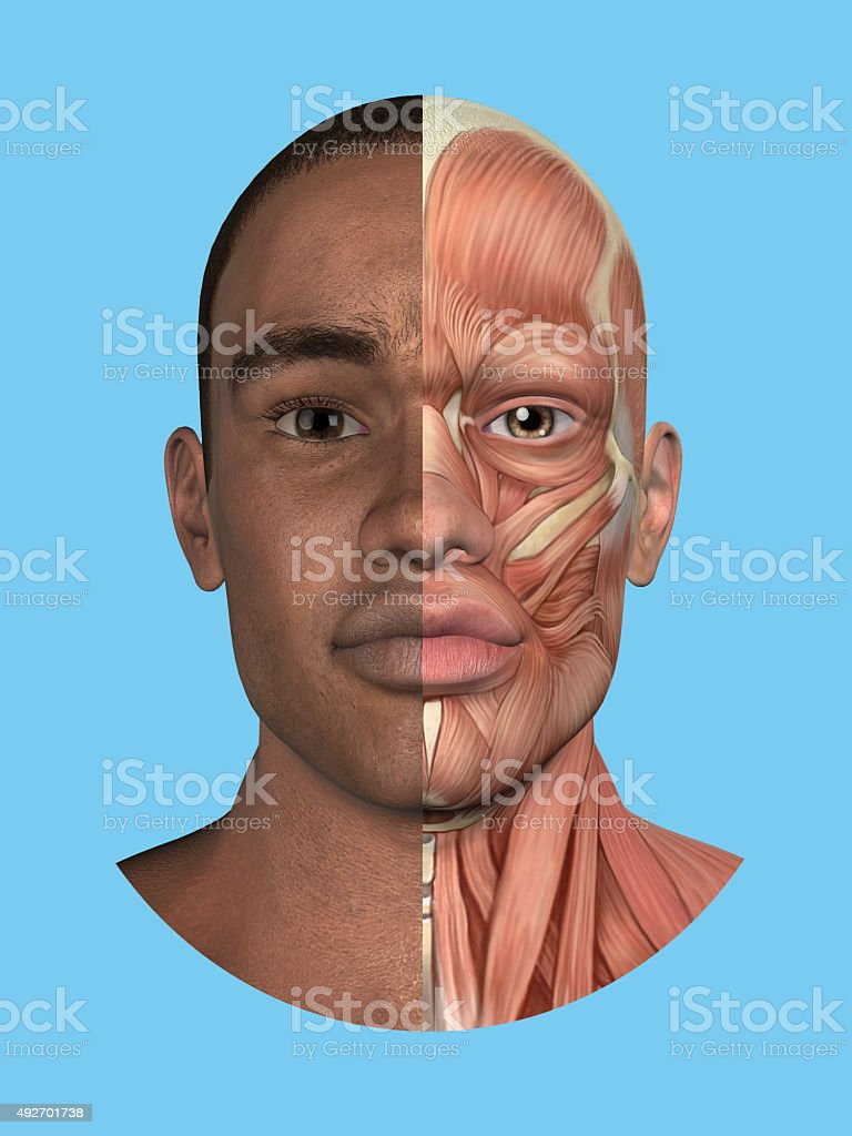 Anatomy split front view of face and major facial muscles. stock photo