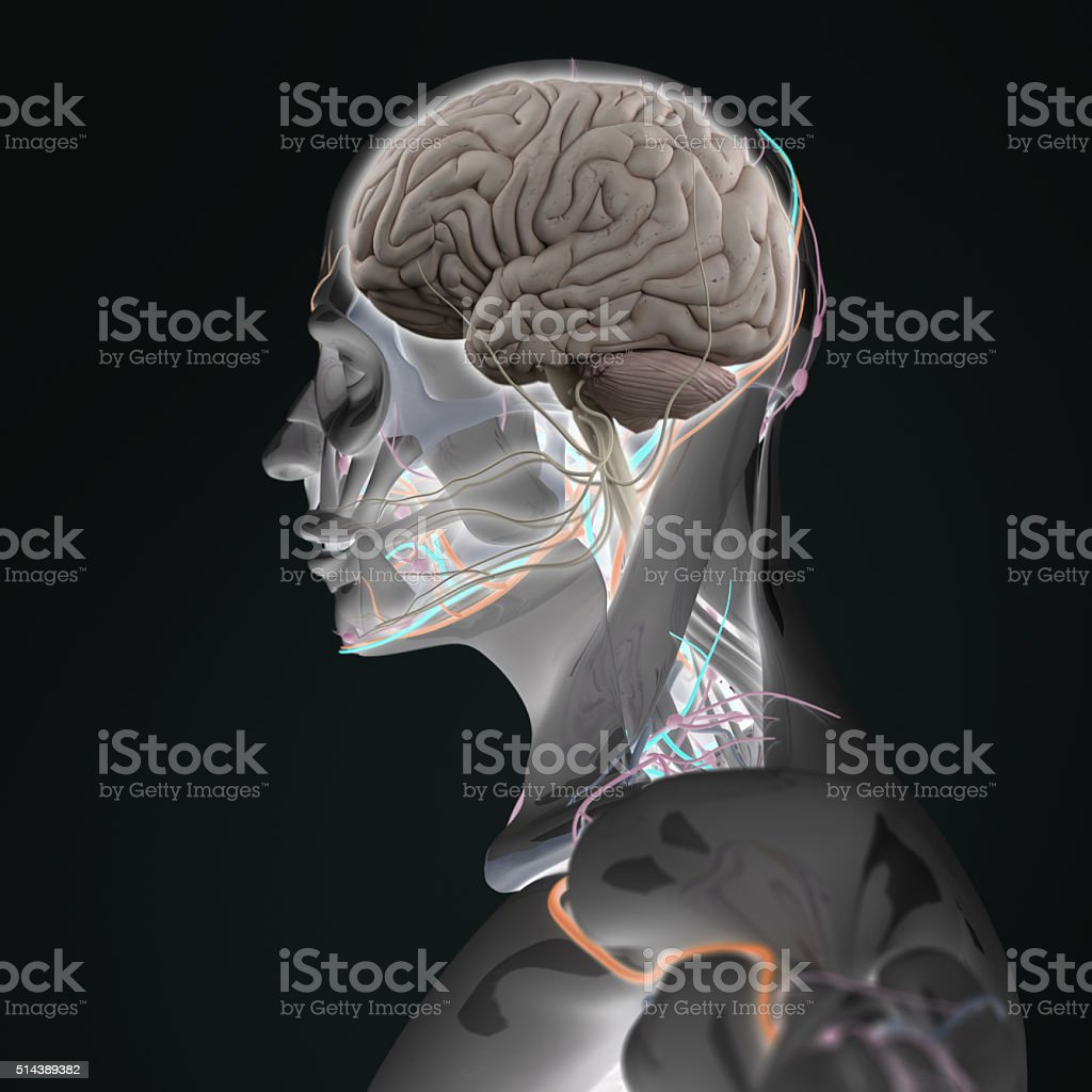 Anatomy Technology Scan Head Profile And Brain Side Section Stock ...