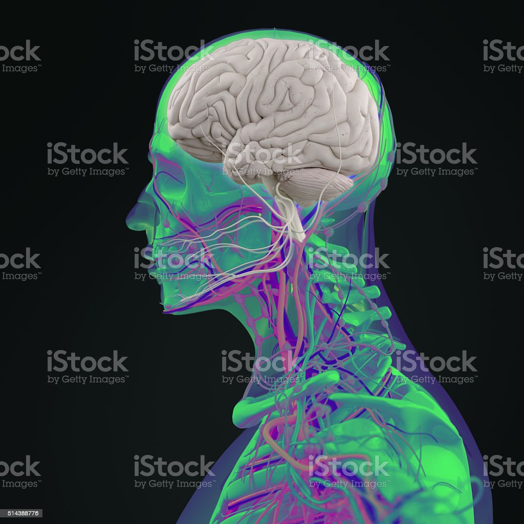 Anatomy Technology Scan Head Profile And Brain Side Sectionvibrant ...