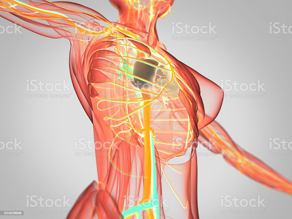 Anatomy Torso Xray View Vascular System Heart 3d Illustration Stock ...