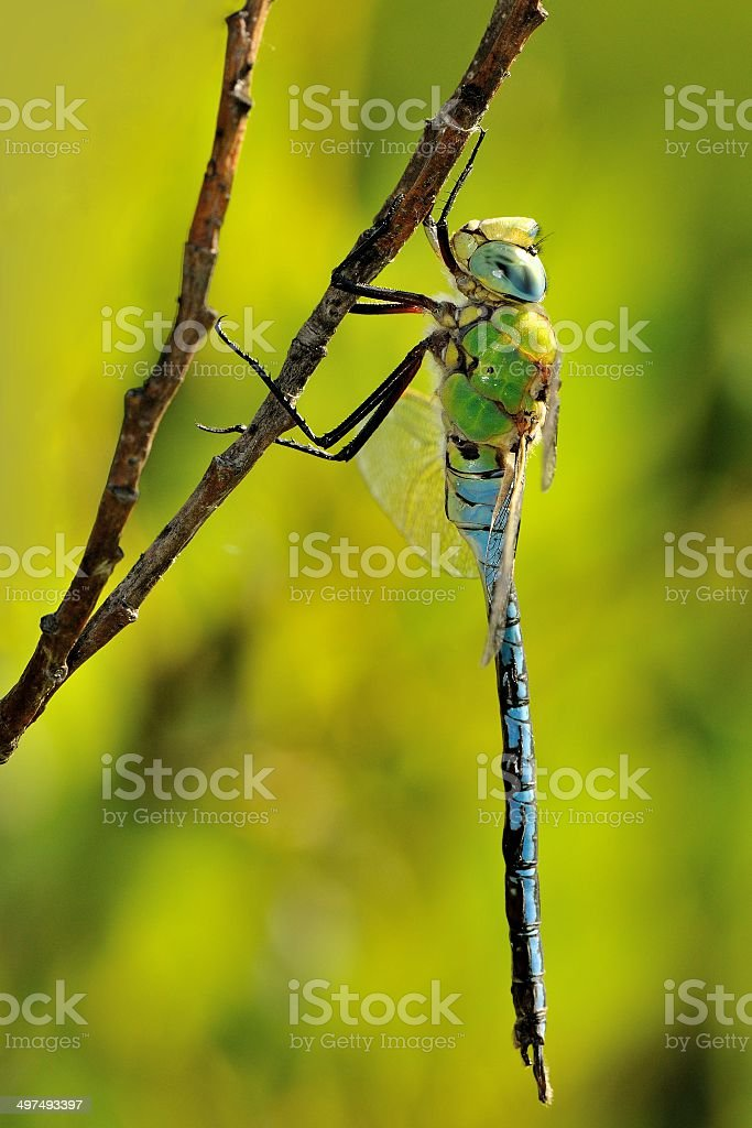 Anax imperator, male stock photo