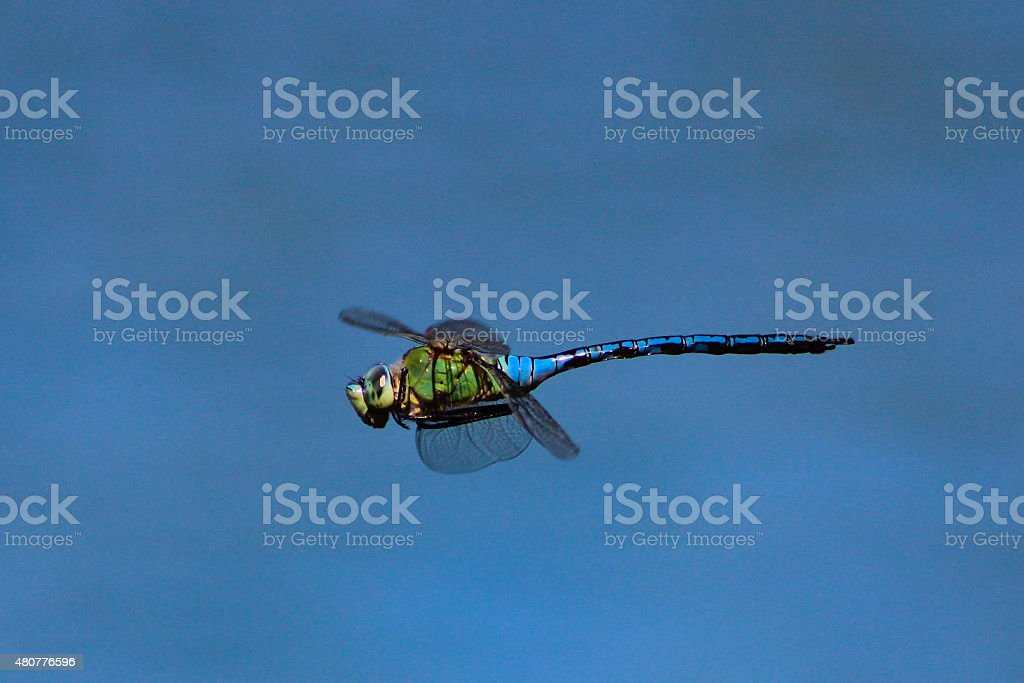 Anax Imperator stock photo