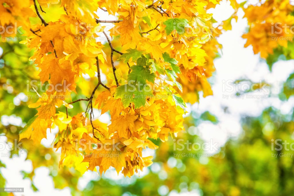 anches of a maple tree on blue sky background close-up. A stock photo
