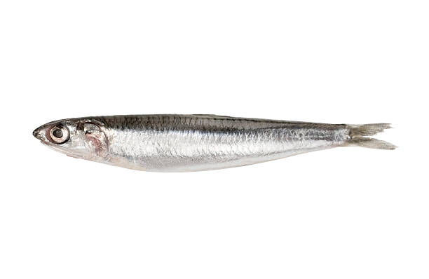 Anchovy Isolated with path Anchovy isolated on white with Clipping Path anchovy stock pictures, royalty-free photos & images