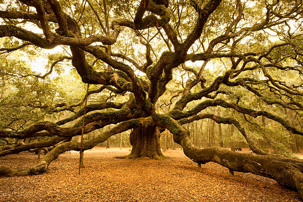 ancient angel oak near charleston - root stock photos and pictures